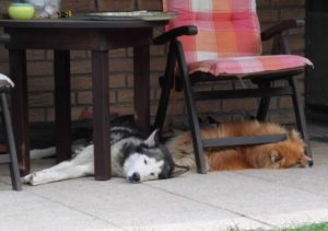 Meine Hunde Enjo und Fenni